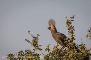 Graulärmvogel, Namibia