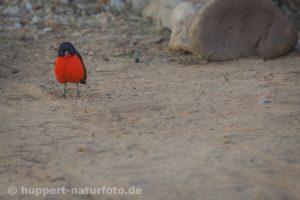 Rotbauchwürger, Namibia