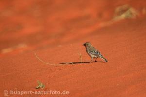 Siedelweber 2, Namibia