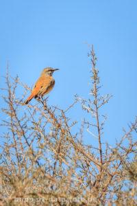 Schnäpper, Namibia