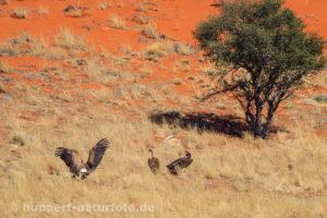 Geier 1, Namibia