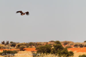 Ohrengeier 2, Namibia