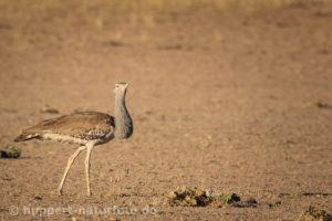 Riesentrappe 1, Südafrika