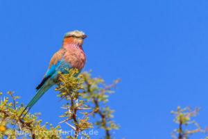 Gabelracke, Südafrika