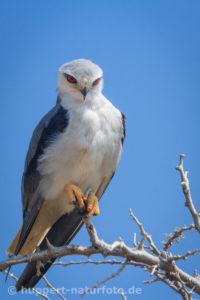 Gleitaar, Namibia