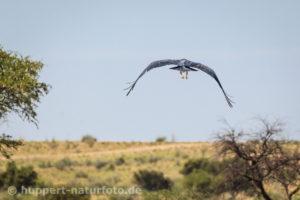 Marabu, Namibia