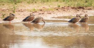 Kap-Löffelente, Südafrika