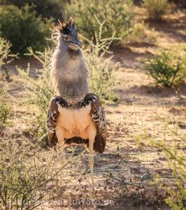 Riesentrappe 2, Südafrika