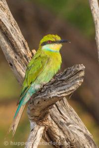 Schwalbenschwanzspint 1, Südafrika