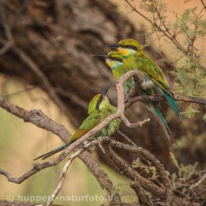 Schwalbenschwanzspint 3, Südafrika