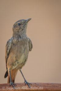 Termitenschmätzer, Namibia