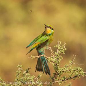 Schwalbenschwanzspint 2, Südafrika