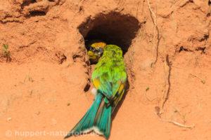 Schwalbenschwanzspint 5, Südafrika