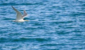 Raubseeschwalbe, Namibia