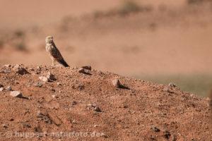 Steppenfalke, Namibia