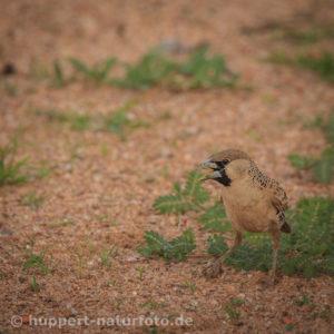 Siedelweber 1, Namibia